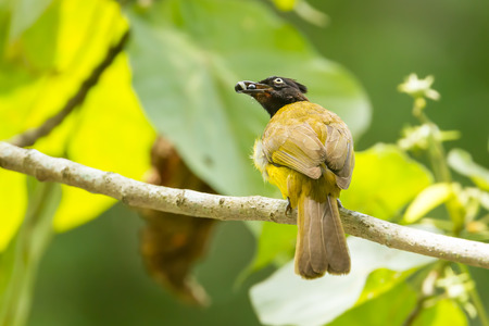 Black-crested Bulbul bird with fruit in nature of Thailand photo