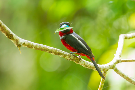 Black-and-red Broadbill Cybirhynchus macrohynchus  with leaf stair at us in nature at Kengkrajarn national park photo
