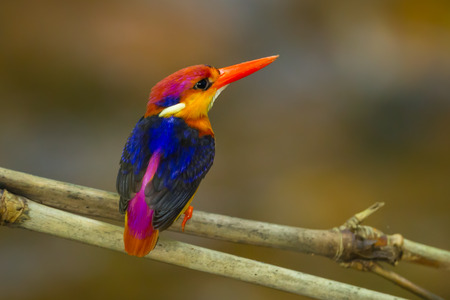 alcedinidae: Backside of Black-backed Kingfisher Ceyx erithaca  in Kengkrajarn naional park,Thailand