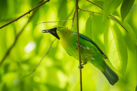 Blue-winged Leafbird Chloropsis cochinchinensis  catch on the branch in nature at Kengkrajarn national park, Thailand photo