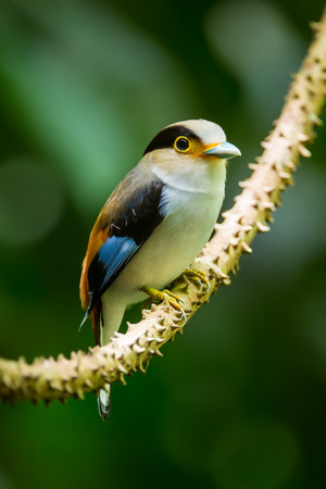 telephoto:  Portrait of Silver-breasted Broadbill stair at us