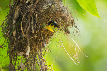 Long-tailed broadbill Psarisomu s dalhousiae  come out to see us in her nest Stock Photo - 28604271
