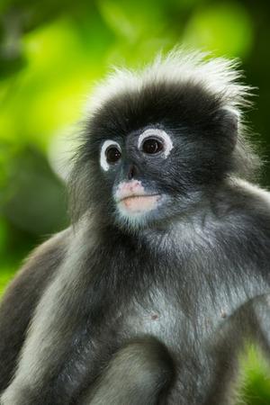 dusky:  Portrait of Dusky Leaf-monkey in nature Thailand Stock Photo