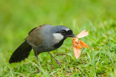 Black-throated Laughingthrush Garrulax chinensis   eating the Moth in nature at Khaoyai national park,Thaialand photo