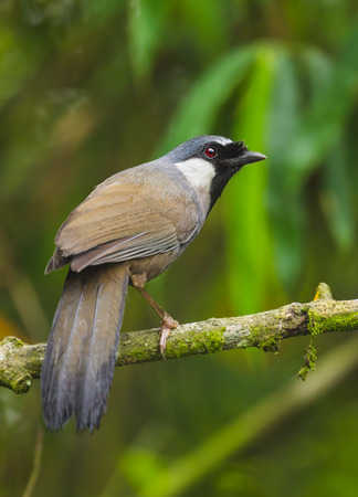 laughingthrush: Black-throated Laughingthrush Garrulax chinensis   catch on the branch in nature at Khaoyai national park,Thailand