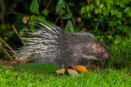 brush tailed: Side view of nocturnal animals Malayan porcupine Hystrix brachyura   find some food in nature at Kaengkrajarn national park,Thailand Stock Photo