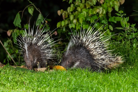 brush tailed: Couple of nocturnal animals Malayan porcupine Hystrix brachyura   find some food in nature at Kaengkrajarn national park,Thailand