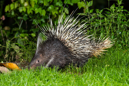 brush tailed: Nocturnal animals Malayan porcupine Hystrix brachyura  find some food in nature at Kaengkrajarn national park,Thailand Stock Photo
