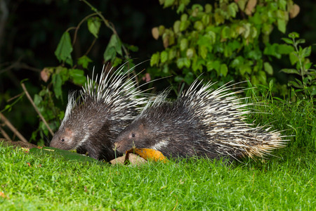 brush tailed: Couple of nocturnal animals Malayan porcupine Hystrix brachyura  come out from the dark to find some food in nature at Kaengkrajarn national park,Thailand