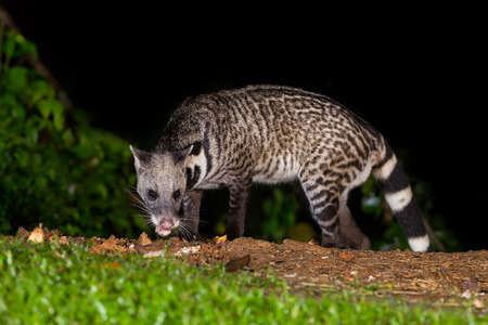 civet cat: Nocturnal animals Viverra zibetha  Viverra zibetha   in nature at Kaengkrajarn national park,Thailand