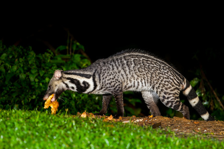 civet cat: Nocturnal animals Viverra zibetha  Viverra zibetha  with food in his mount in nature at Kaengkrajarn national park,Thailand
