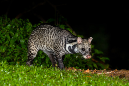 civet cat: Nocturnal animals Viverra zibetha  Viverra zibetha  finding some food in nature at Kaengkrajarn national park,Thailand Stock Photo