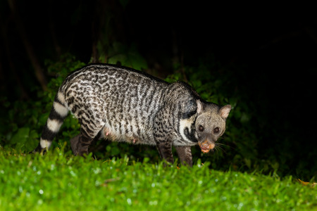 civet cat: Nocturnal animals Viverra zibetha  Viverra zibetha  stair at us with careful in nature at Kaengkrajarn national park,Thailand Stock Photo