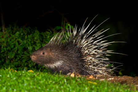 brush tailed: Full body side view of Nocturnal animals Malayan porcupine Hystrix brachyura  in nature at Kaengkrajarn national park,Thailand Stock Photo