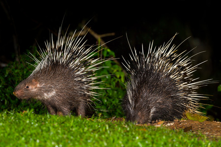 brush tailed: Couple of Nocturnal animals Malayan porcupine Hystrix brachyura  in nature at Kaengkrajarn national park,Thailand Stock Photo