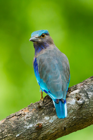 Portrait of Indian roller Coracias benghalensis  turn to look at us in nature of Thailand photo
