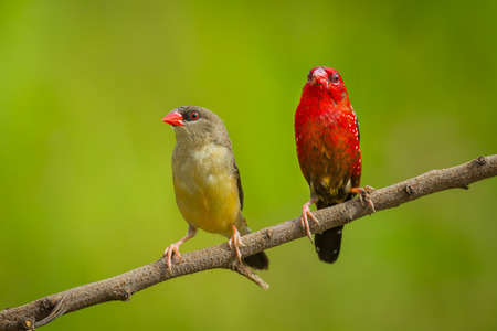 wallace: Lovely Red Avadavat Amandava amandava  on the branch in natuer of Thailand Stock Photo