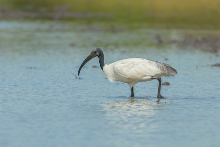 Single Black-headed ibis Threskiornis melanocephalus  finding food in nature of Thailand Banque d'images