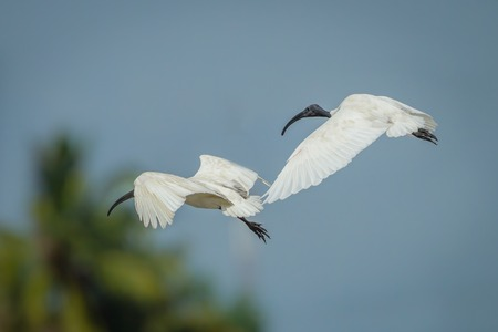 Black-headed ibis Threskiornis melanocephalus  flying in nature of Thailand Banque d'images
