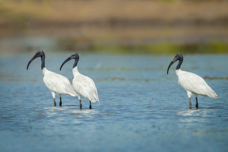 Three Black-headed ibis finding food and look at us