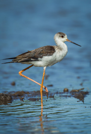 black winged stilt: Close up portrait of young Black-winged Stilt Himantopus himantopus   in nature of Thailand Stock Photo