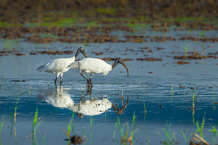 heterotrophs: Couple of Black-headed ibis Threskiornis melanocephalus  walking for food with good shadow in nature of Thailand  Stock Photo