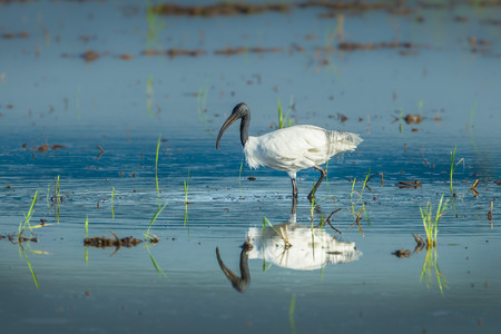 Black-headed ibis Threskiornis melanocephalus  walking for food  in nature of Thailand
