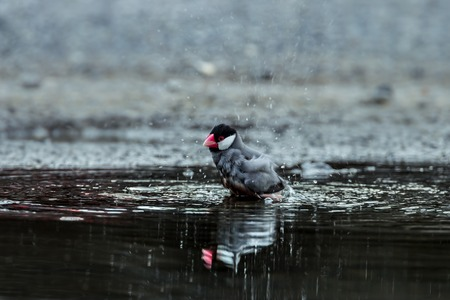 Java sparrow, Java finch Lonchura oryzivora is showering in nature of Thailand photo
