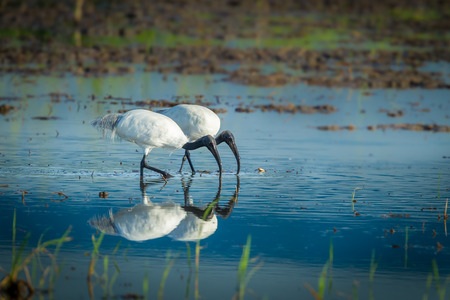 Couple of Black-headed ibis(Threskiornis melanocephalus) walking for food