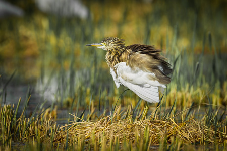 bacchus:  Chinese Pond Heron (Ardeola bacchus) in nature