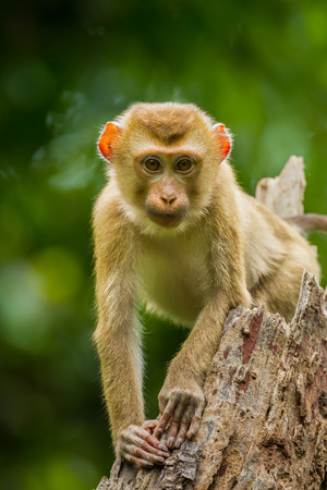 couch potato: Young Northern Pig-tailed Macaque(Macaca leonina) in Khaoyai national park,Thailand Stock Photo