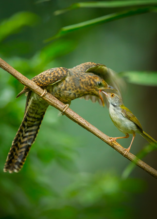 Rare picture, Step mother of Common Tailorbird feeding insect to the young Plaintive Cuckoo (Cacomantis merulinus) who real parent Plaintive Cuckoo leave eggs in Common Tailorbird bird nest.