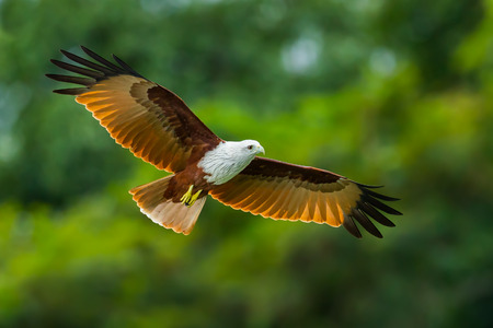bird eating raptors: Close up of  Brahminy kite(Haliastur indus) flying in the sky in nature of Thailand