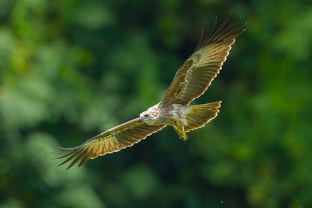 bird eating raptors: Close up of Young Brahminy kite(Haliastur indus) flying in the sky in nature of Thailand