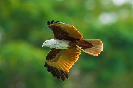 bird eating raptors: Close up of Brahminy kite(Haliastur indus) flying in the sky in nature of Thailand Stock Photo