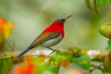 Crimson Sunbird (Aethopyga siparaja) catch on branch in nature at Kitchakoot mountain national park,Thailand