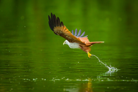 bird eating raptors: Brahminy kite(Haliastur indus) flying and catching on water in nature of Thailand Stock Photo