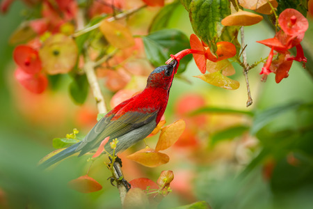 Crimson Sunbird (Aethopyga siparaja) sucking the flower in nature at Kitchakoot mountain national park,Thailand