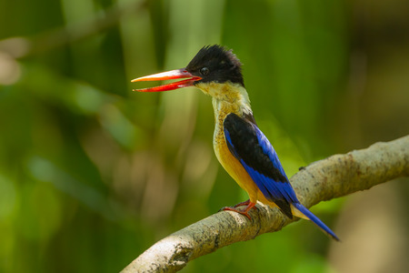 coraciiformes: Black-capped Kingfisher (Halcyon pileata) body expression when meet the enemies in nature