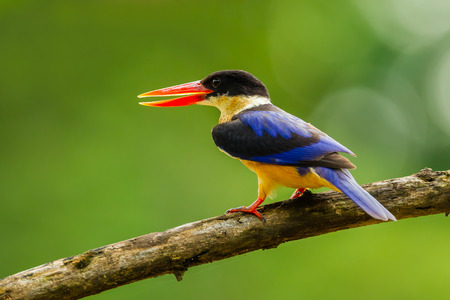 coraciiformes: Left side close up of  Black-capped Kingfisher (Halcyon pileata) catch on the branch in nature of Thailand
