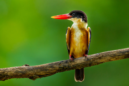alcedinidae: Black-capped Kingfisher (Halcyon pileata) tune her head right catch on the branch in nature of Thailand