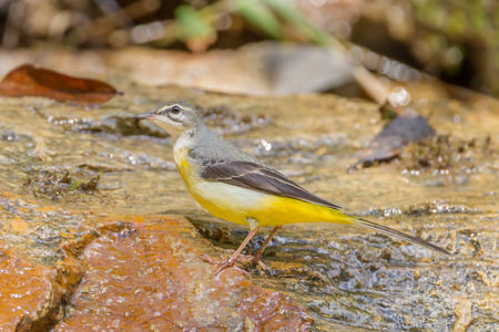 Left side of Yellow Wagtail (Motacilla flava) on the stone in nature at Khaoyai national park, Thailand photo