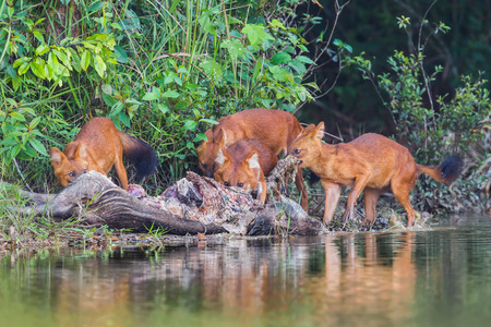 Group of Asian Wild Dog(Cuon alpinus infuscus) eating wild bore pig in nature at Khaoyai National Park, Thailand photo