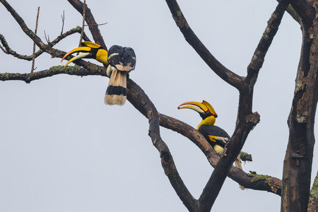 Couple of Great hornbill (Buceros bicornis)  in nature at Khaoyai National park,Thailand photo