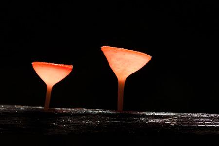 rea: Pink Burn Cup mushroom(Tarzetta Rosea ( Rea) Dennis) in nature at Khaoyai national park,Thailand Stock Photo