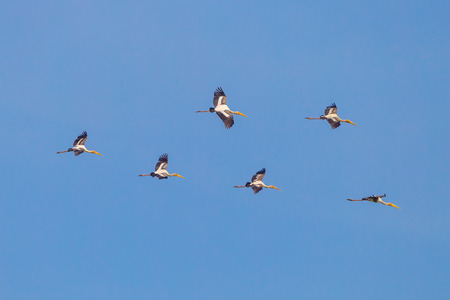 Group of Painted Stork(Mycteria leucocephala ) flying in the sky in nature of Thailnad