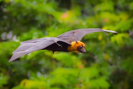 flying male Lyle