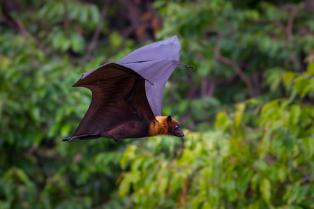 pteropus: Flying male Lyles flying fox (Pteropus lylei) with green background in nature of Thailand Stock Photo
