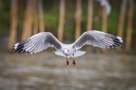 chroicocephalus: Full direct view flying of Brown-headed gull (Chroicocephalus brunnicephalus) in nature in Thailand Stock Photo