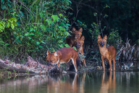 The leader of Asian Wild Dog (Cuon alpinus infuscus) named \Gomain\ eating wild boar in nature at Khaoyai National Park, Thailand photo